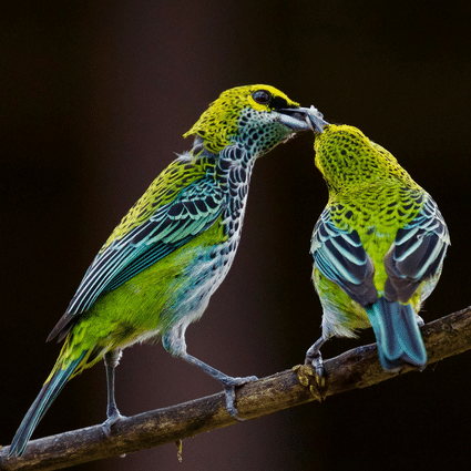 Speckled Tanager Gallery