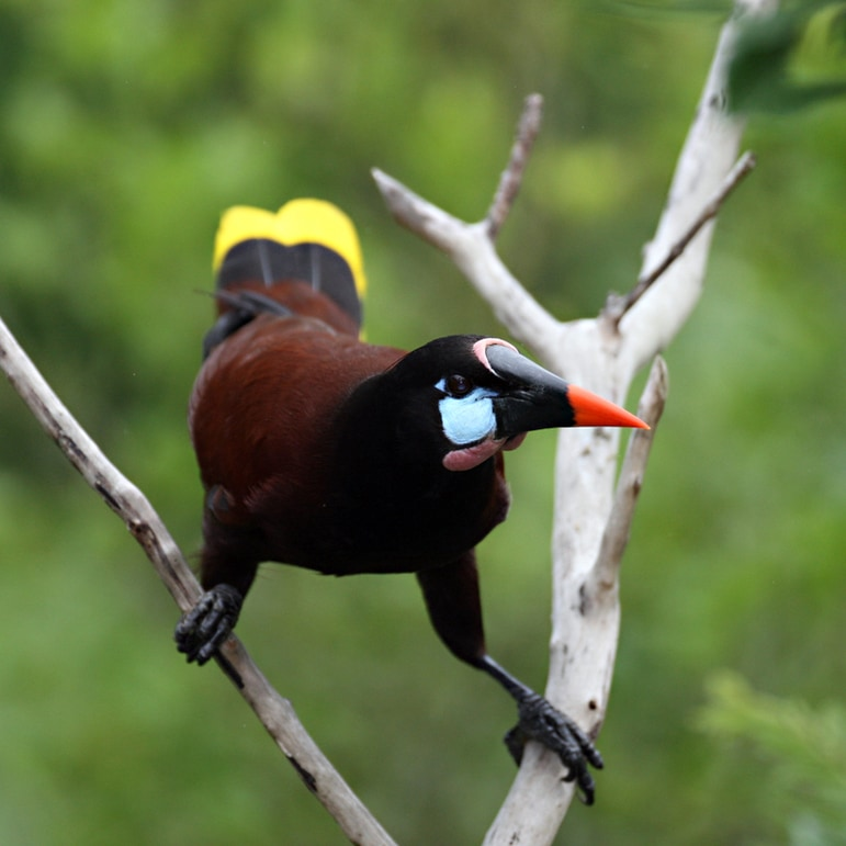 Closeup of oropendola bird
