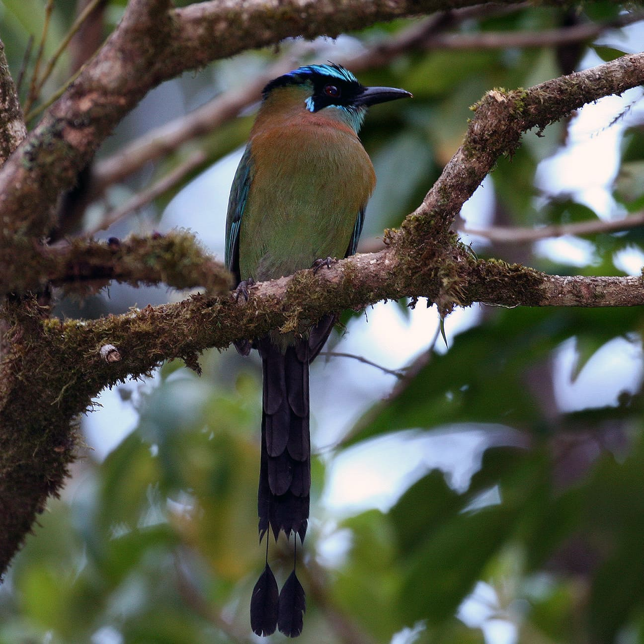 Motmot sitting in a tree
