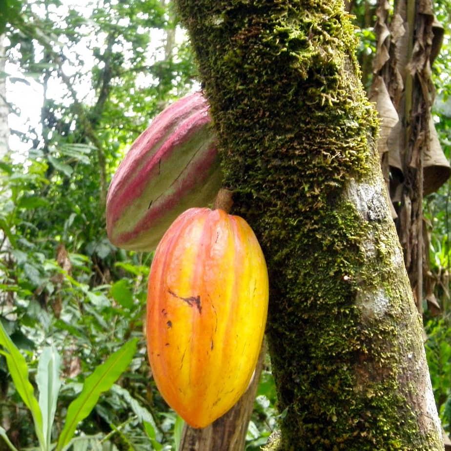 Tirimbina Cacao