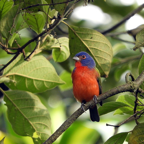 Painted Bunting 784X784
