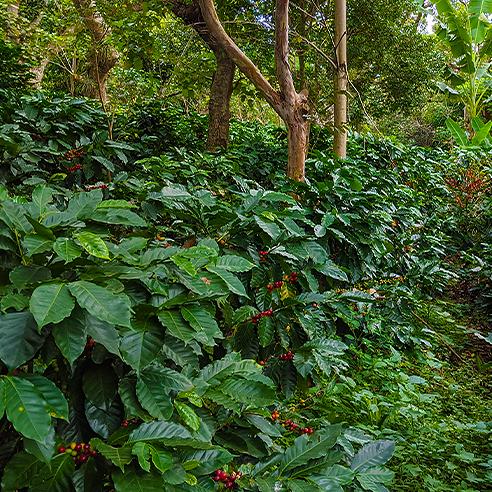 Plants with cherries 1x1