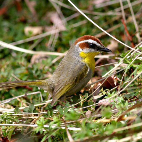 Slider Rufous Capped Warbler