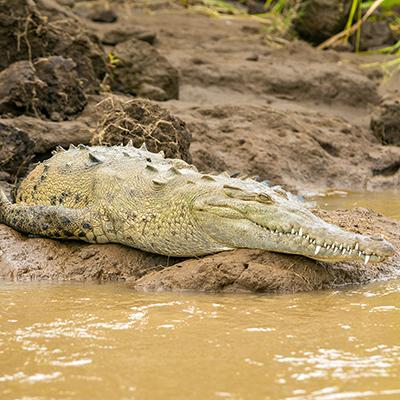 Slider Croc