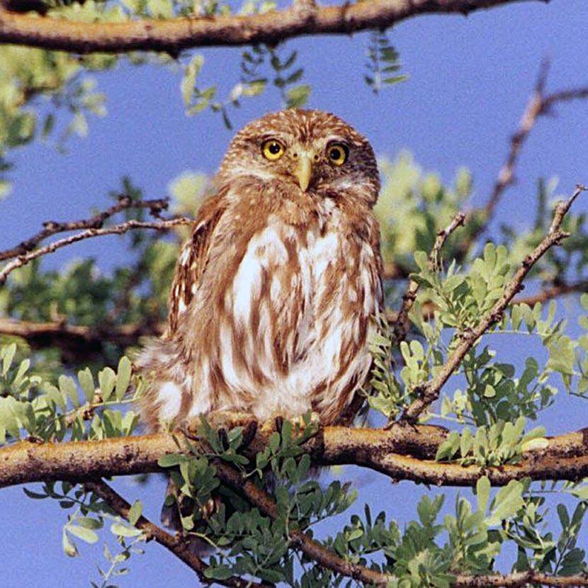 Thumb Owl
