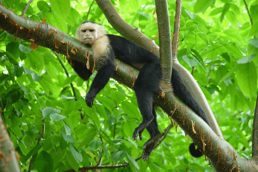 white-faced monkey in Costa Rica